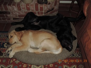 Cooper and guide dog in training Conner (black) snuggle up for a nap.