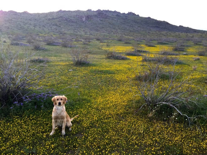 Lyric and our bumper crop of desert wildflowers.